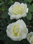 Розы Meilland 2012