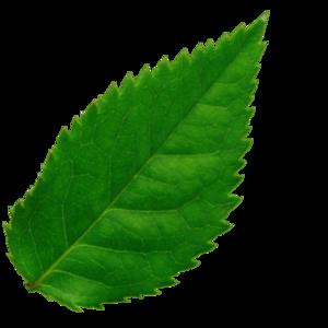 Картинка зеленый листик