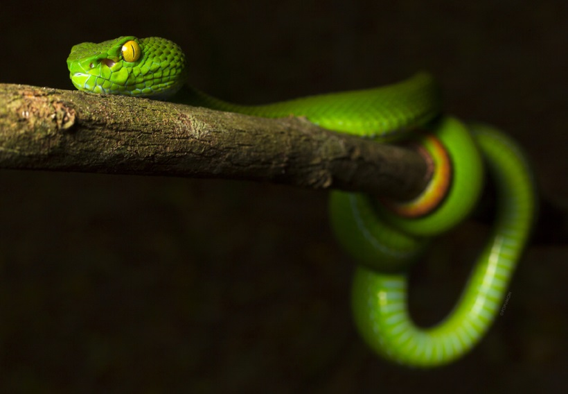 Пугающие фотографии змей 0 134ab6 e6f58310 orig