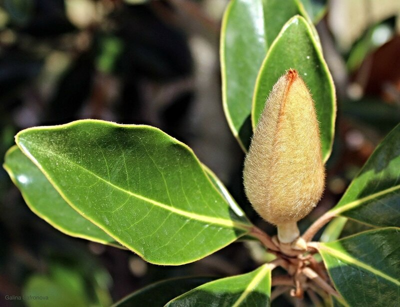 magnolia baby flower.jpg