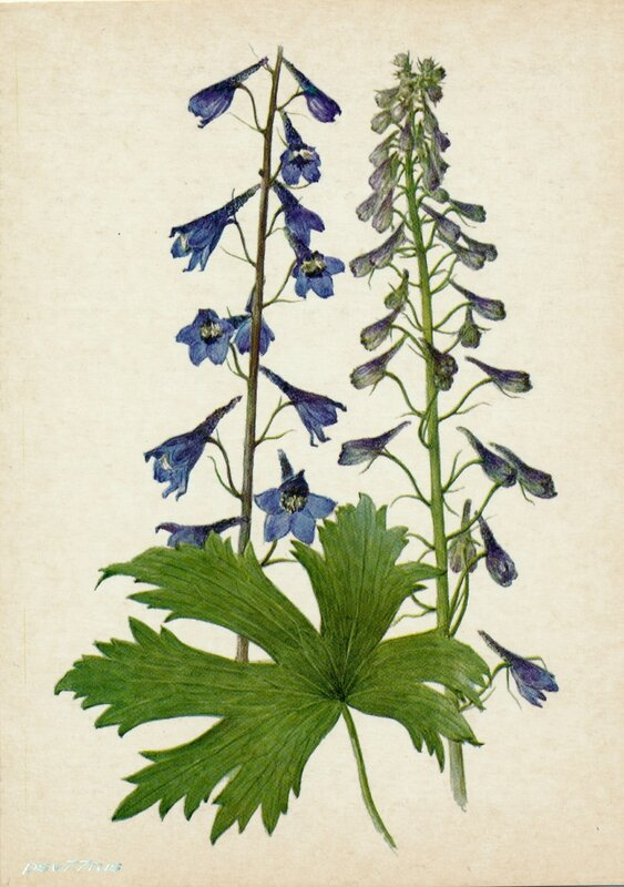 Живокость (высокая) сетчатоплодная (Delphinium elatum L.)