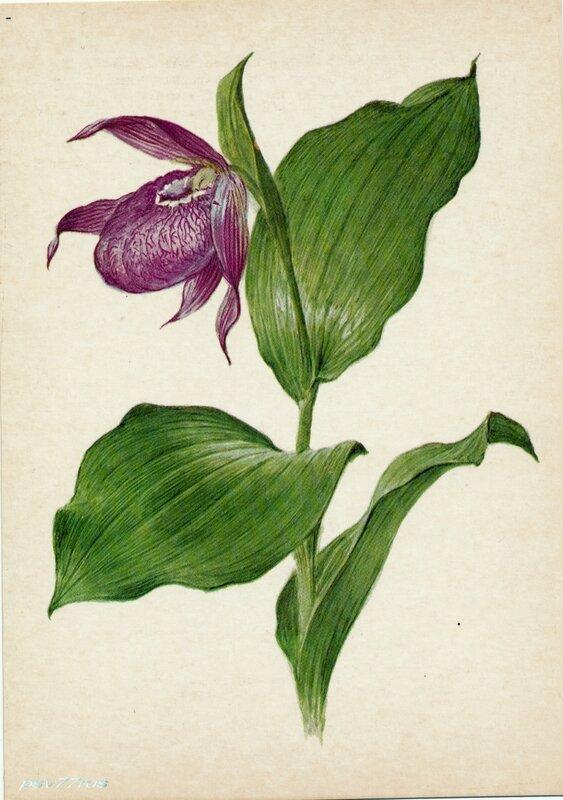 Башмачок крупноцветный (Cypripedium macranthon Sw.)