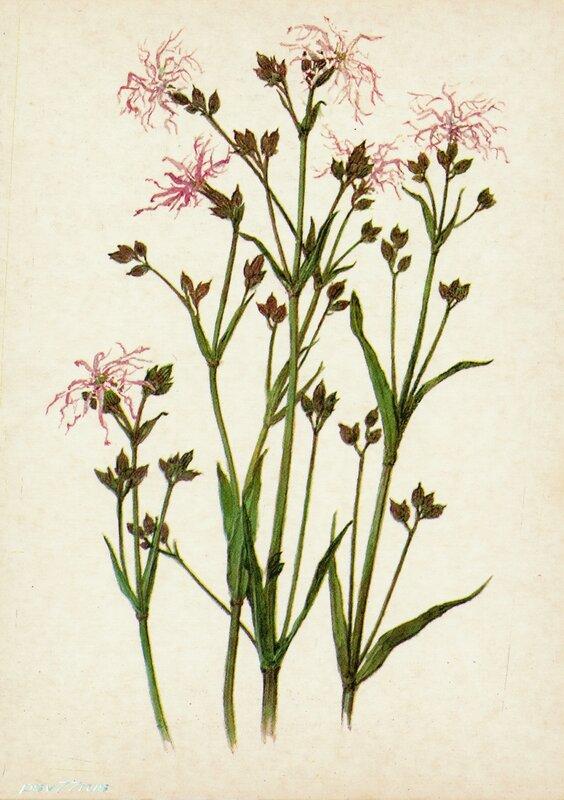 Кукушник (Coronaria flos cuculi A.Br.)