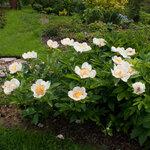 Календарь цветения пионов 2012г 0_6ff62_1e6da0bc_S