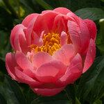 Календарь цветения пионов 2012г 0_6ff78_24b7c6b4_S