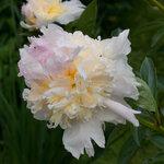Календарь цветения пионов 2012г 0_6ffb8_4401d954_S
