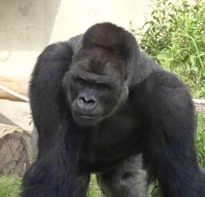 Самец гориллы сводит японских девушек с ума