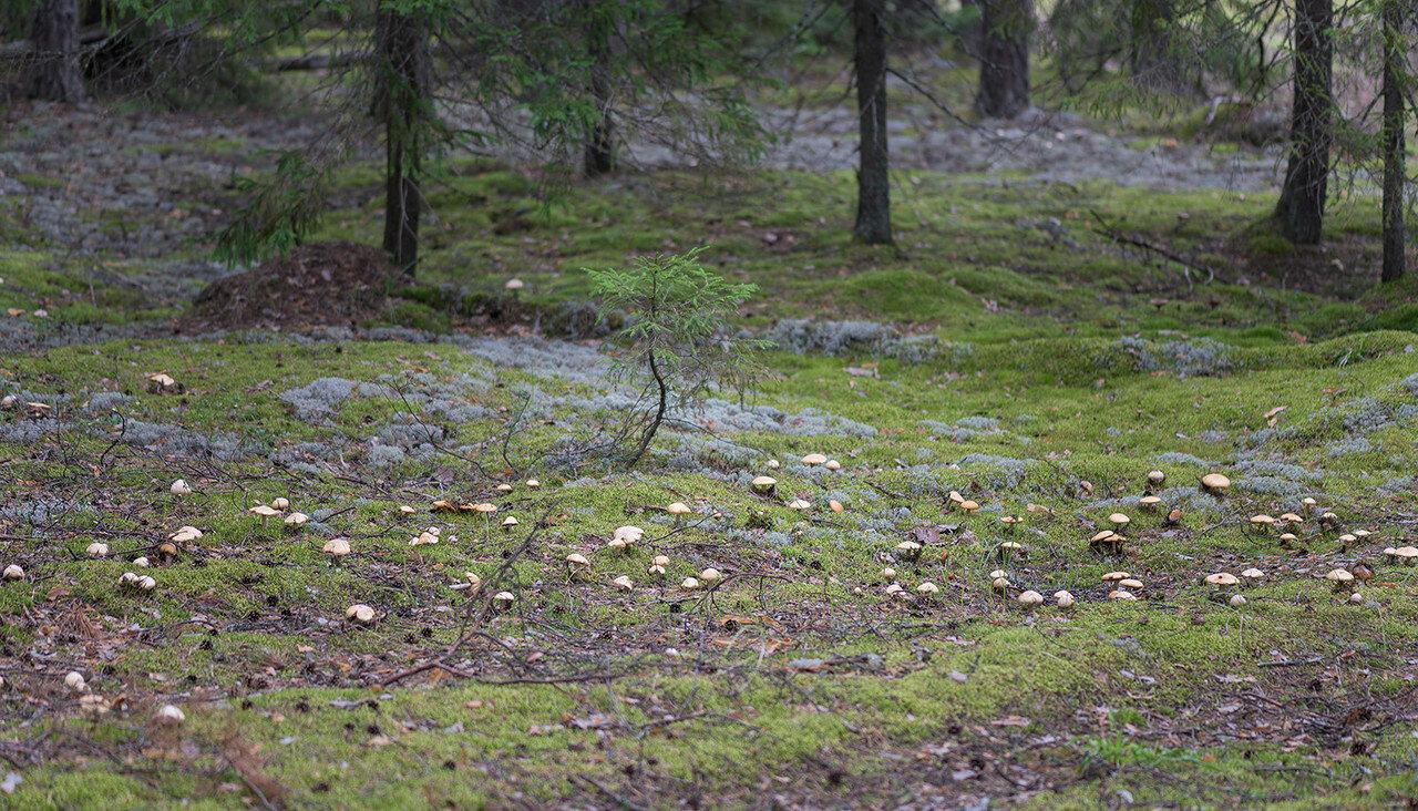 Колпак кольчатый (Cortinarius caperatus) Автор фото: Владимир Брюхов