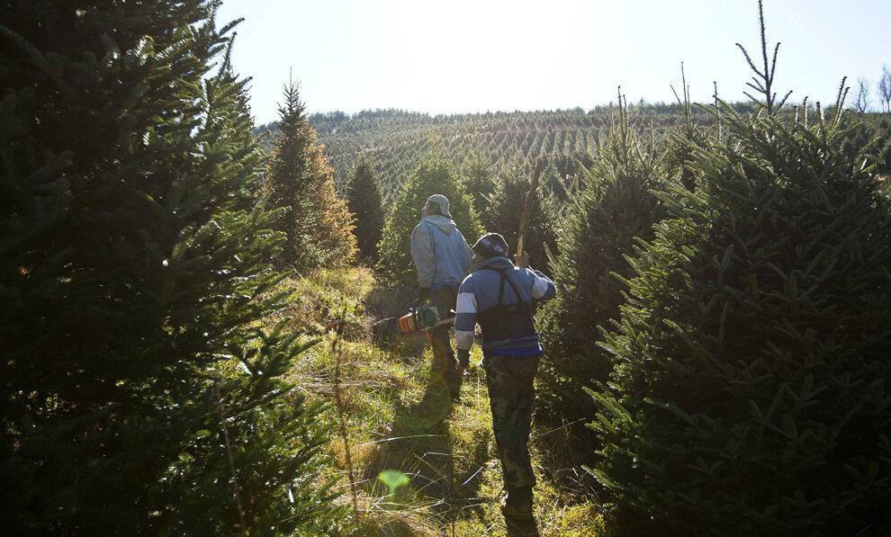 Рабочие идут по еловым плантациям в поисках помеченных деревьев на вырубку.