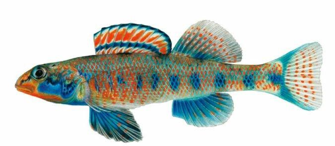 рыба Обама