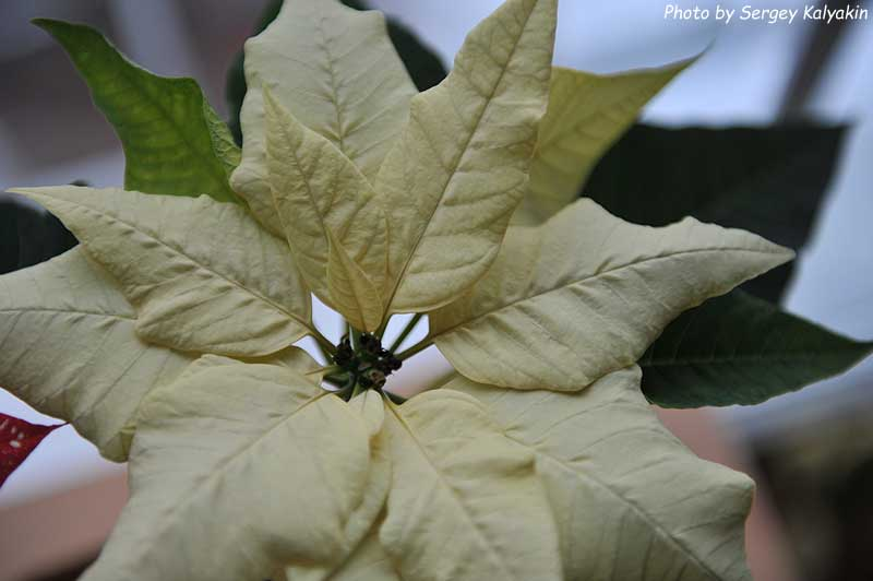 Poinsettia (4).jpg