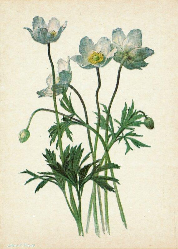 Ветреница лесная (Anemone silvestris L.)