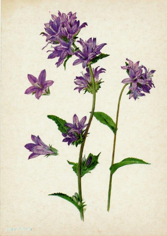 Колокольчик скученный (Campanula glomerata L.)