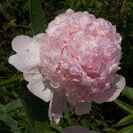 Календарь цветения пионов 2012г 0_6ff72_f6016899_S