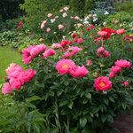 Календарь цветения пионов 2012г 0_6ff90_2389c9d9_S