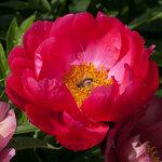 Календарь цветения пионов 2012г 0_6ffa3_ae568493_S