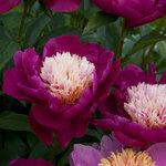 Календарь цветения пионов 2012г 0_6ffbc_ca6931f5_S