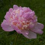 Календарь цветения пионов 2012г 0_6ffcc_bc05a1dc_S