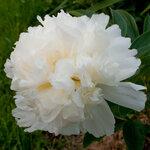 Календарь цветения пионов 2012г 0_6ffd9_8fb82fe6_S