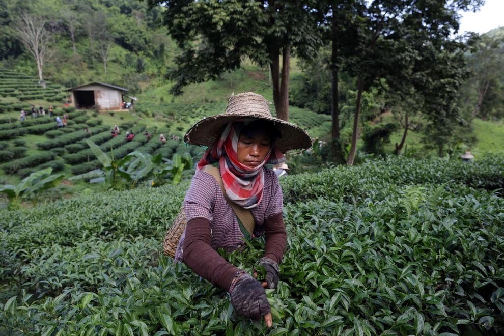رحلة تصنيع الشاي خطوة بخطوة 0_96e50_80de34c9_ori