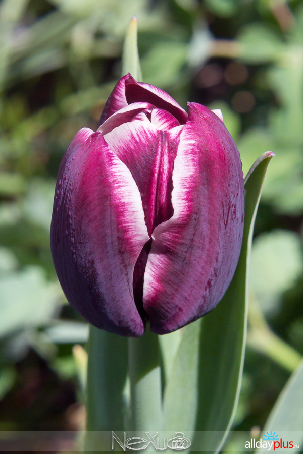Я люблю все цветы, выпуск 168 | Тю5a8льпан «Jackpot».