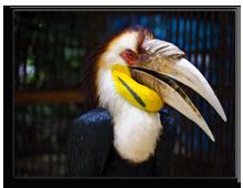 Малайзия. Male Bar-pouched Wreathed Hornbill. Piyathep -shutterstock.