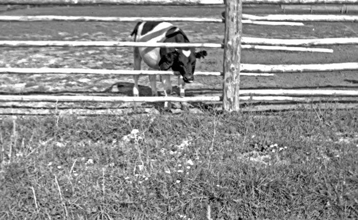 Семенково, животноводческая ферма