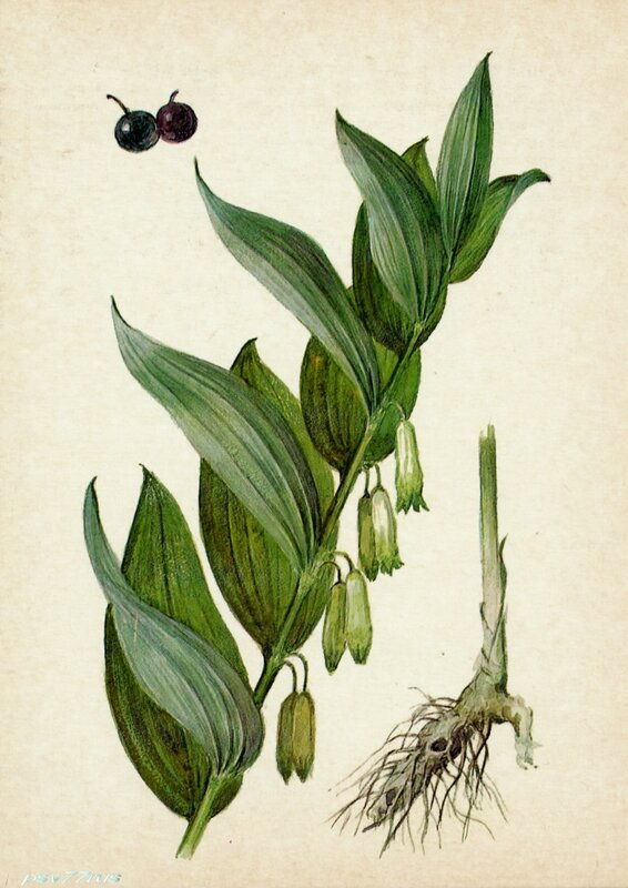 Купена лекарственная (Polygonatum officinale All.)