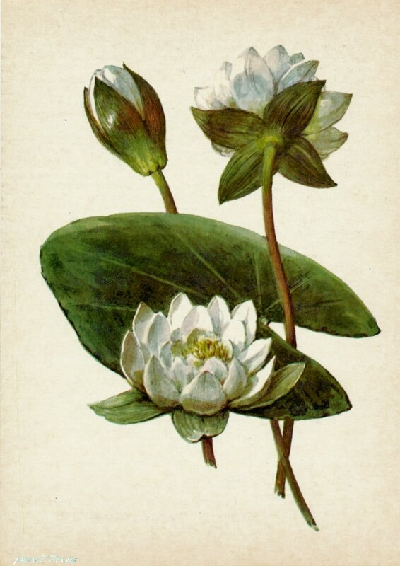 Кувшинка белая (Nymphaea candida Presl.)