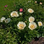 Календарь цветения пионов 2012г 0_6ff3c_96cefb7d_S