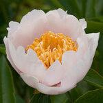 Календарь цветения пионов 2012г 0_6ff68_62c1ac08_S