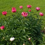 Календарь цветения пионов 2012г 0_6ff9a_9391d570_S