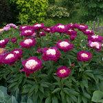 Календарь цветения пионов 2012г 0_6ffbf_2826955f_S