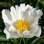 Календарь цветения пионов 2012г 0_6ffc7_93c42961_S