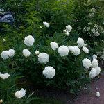 Календарь цветения пионов 2012г 0_6ffd2_5f5fbafe_S