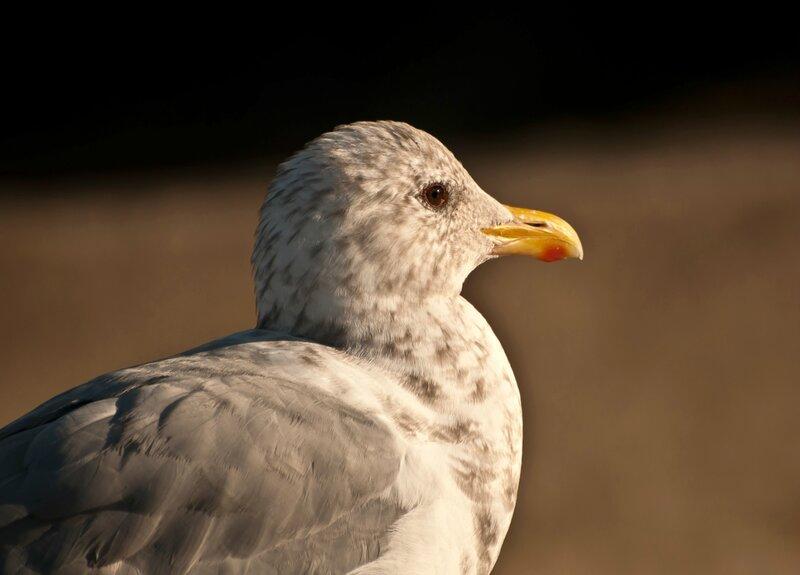 Портрет молодой чайки