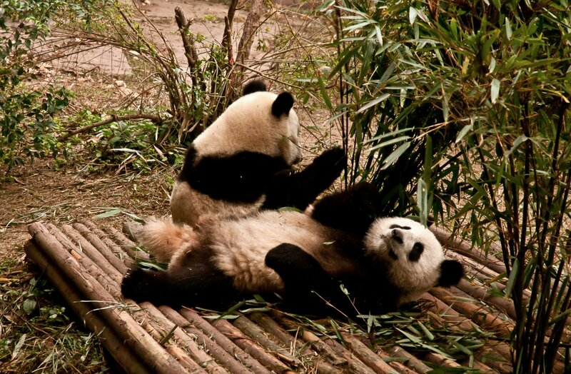 Две панды с бамбуком