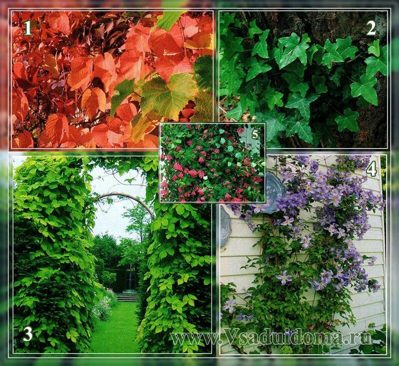 амурский виноград, плющ, жимолость декоративная, хмель, клематисы фото
