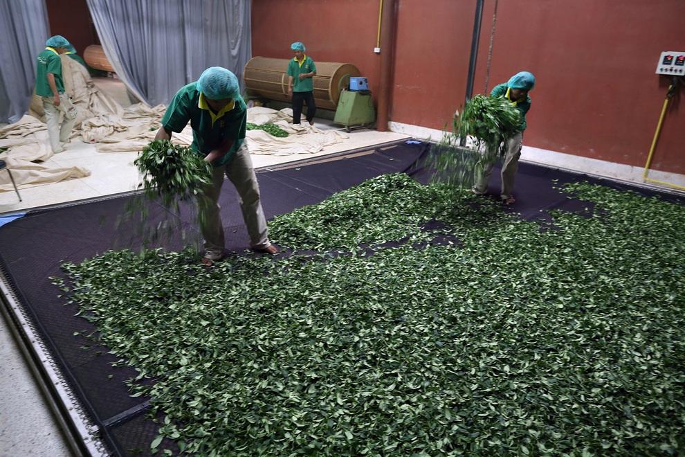 رحلة تصنيع الشاي خطوة بخطوة 0_96e56_bdddc517_ori