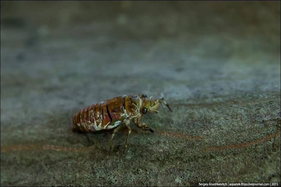 Cicada septemdecim