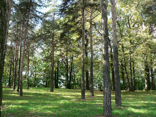 сосновый бор в парке