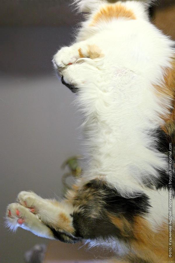 фото кошка мейн кун