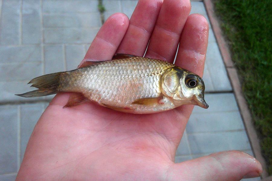 рыбка мутант