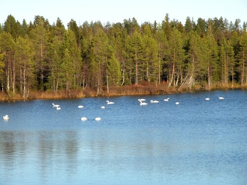 сказочная птица северных озер