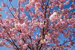 sakura_tree_closeup.jpg