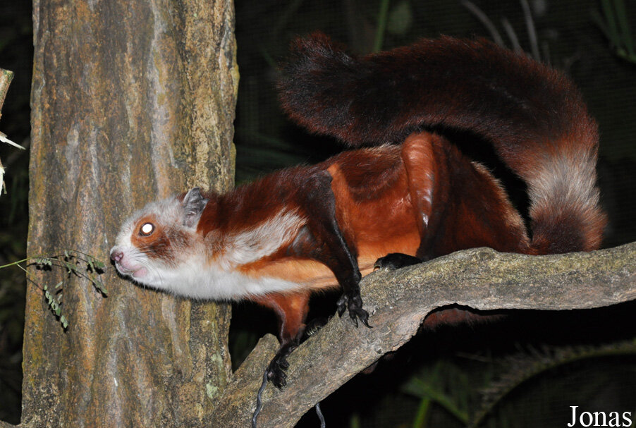 Laotian giant flying squirrel