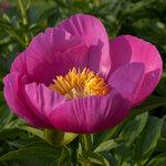 Календарь цветения пионов 2012г 0_6ff54_872a8977_S