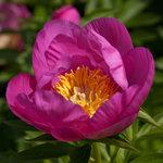 Календарь цветения пионов 2012г 0_6ff57_8c67c778_S