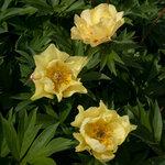 Календарь цветения пионов 2012г 0_6ffab_4f9bcd81_S
