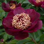 Календарь цветения пионов 2012г 0_6ffb4_72bcd34c_S